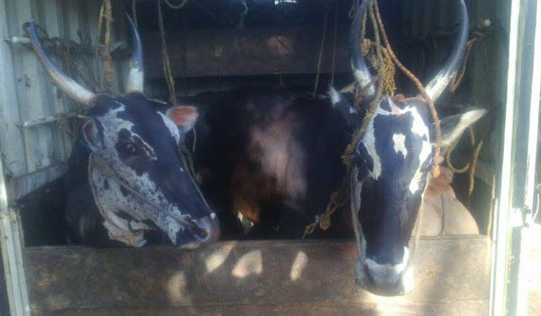 15 Cattle Rescued at Kudur