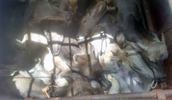 45 Cattle rescued at Yashwanthpur